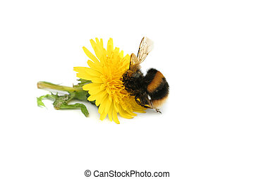 Bumble bee with its head buried in a dandelion flower, covered in pollen, against a white background.