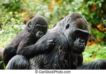 gorila, madre y niño