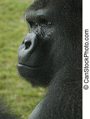 gorila, mirar fijamente