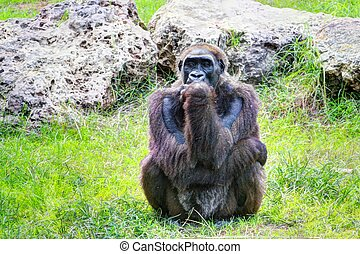 Gorila - Monkey