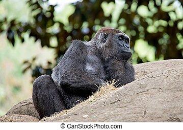 gorila, sentado, en, un, roca, pensamiento