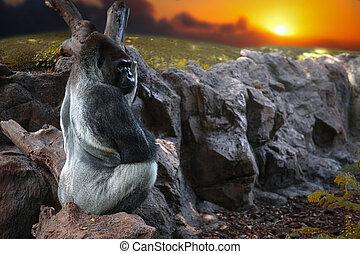 gorila, sentado, en, un, roca