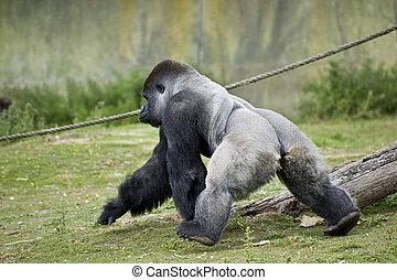gorilla, 3