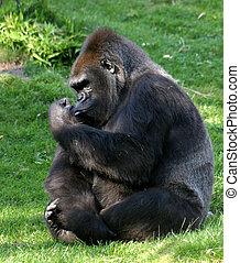 A gorilla in a zoo