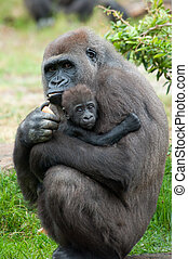 gorilla and her baby - close-up of a mother gorilla and her ...