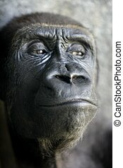 Gorilla ape close up portrait with mostly human expresions