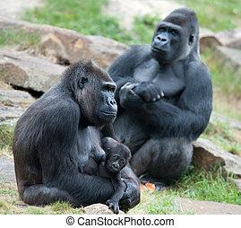 gorilla, baby, haar