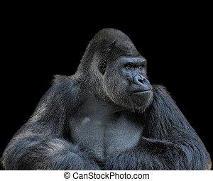 gorilla, beschouwend