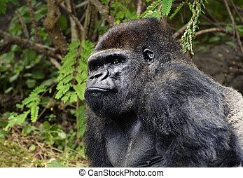 gorilla, bild, utomhus