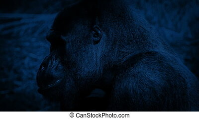 Gorilla Eating At Night