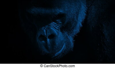 Gorilla Eating Closeup In The Dark