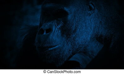 Gorilla Eating Looks Up At Camera At Night