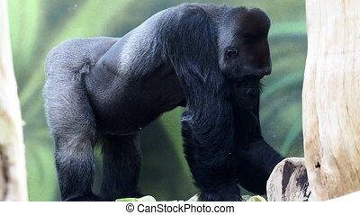 Gorilla eating vegetables. Gorilla having lunch (Gorilla gorilla). Portrait of a dominant male gorilla.