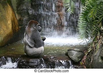 gorilla, essende, natürlich, lebensraum