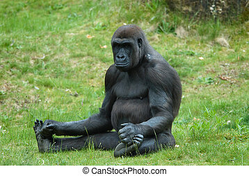 gorilla, femmina