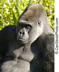Gorilla from a zoo
