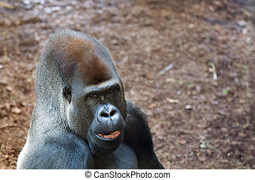 Gorilla in a clearing