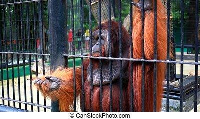 gorilla in cage close up