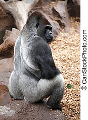 Gorilla siting on a stone in a Tenerife Loro zoo park