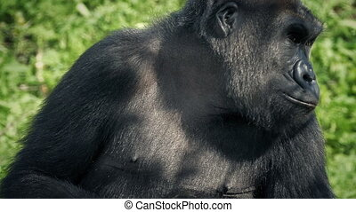 Gorilla In The Shade Looks Around And Leaves