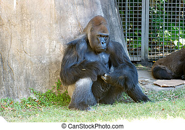 Gorilla in Zoo