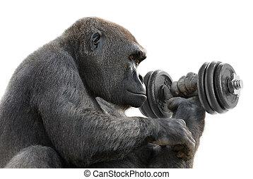 gorilla, lavorare fuori, con, uno, dumbbell