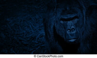 Gorilla Looking Around Jungle At Night - Big male gorilla...