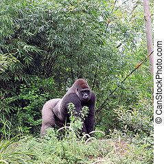 Gorilla looking out - Gorilla looking around