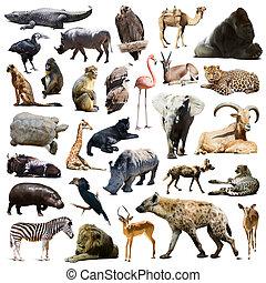 Gorilla, Más, állatok, hiéna, afrikai