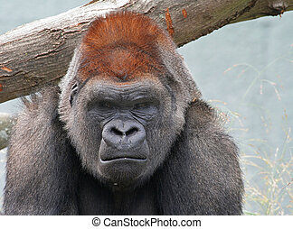 gorilla, mürrisch