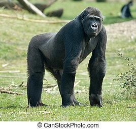 gorilla, maschio