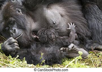 pene di gorilla