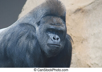 gorilla, nahaufnahme, behaarter , schwarz, groß