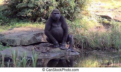 Gorilla near the water.