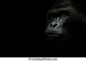 gorilla, nero, isolato, ritratto