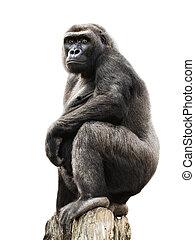 Gorilla on tree trunk, isolated - Gorilla proudly standing ...