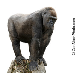 Gorilla on tree trunk, isolated - Gorilla majestically...