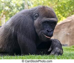 Gorilla - Portrait of young smiling gorilla