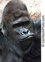 Gorilla - A closeup of the head of a gorilla (portrait)