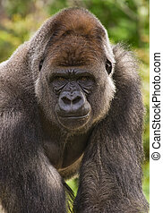 Gorilla - Big silverback gorilla staring and looking angry