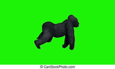 gorilla runs - green screen