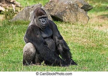 Gorilla silverback relaxing