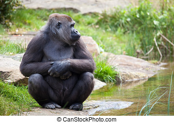 Gorilla sitting - Adult gorilla sitting in the zoo