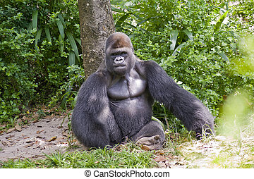 Gorilla Sitting - View of a gorilla sitting in the wild.