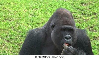 gorilla male eating
