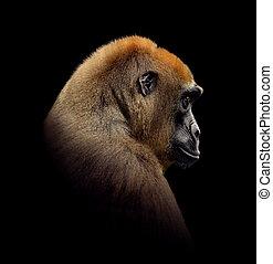 gorilla, tillsluta, stående, isolerat, på, svart