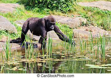 Gorilla water shore