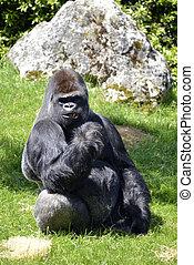 gorilla, westlich, tiefland, sitzen