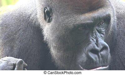 Gorilla Wild African Primate