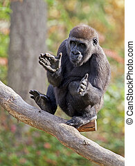 Portrait of a gorilla youngster clapping his hands